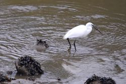 Aigrette gourmande.003